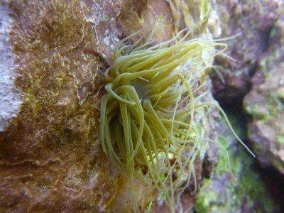 Anemonia sulcata viridis - Wachsrose blumentiere arten anthozoa tauchen auf den kanaren atlantik atlantischer ozean