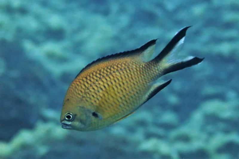 Atlantischer Mönchsfisch Chromis limbata knochenfische Osteichthyes Fische Kanaren Fischarten Atlantik