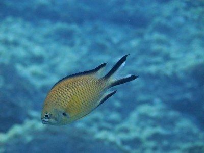 atlantischer moenchsfisch chromis limbata Fische der Kanaren kanarische inseln tauchen