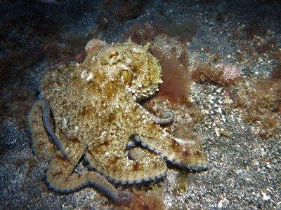 Gemeiner Krake gewöhnlicher oktopus Octopus vulgaris kopffüßer cephalopoda tauchen auf den kanaren kanarische inseln atlantik atlantischer ozean