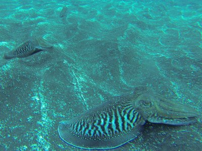 gewoehnlicher tintenfisch sepia officinalis kopffuesser bild tauchen kanaren kanarische inseln atlantik atlantischer ozean