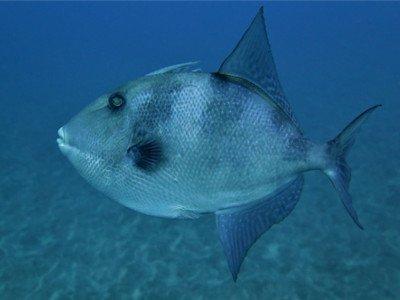 grauer drueckerfisch balistes capriscus fischlexikon bild Kanarische Inseln tauchen flora fauna arten spezies marine