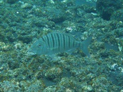 marmorbrasse lithognathus mormyrus knochenfisch bild tauchen kanaren kanarische inseln atlantik atlantischer ozean