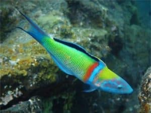 meerpfau thalassoma pavobild fische der kanaren kanarische inseln tauchen