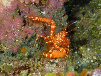 roter riffhummer enoplometopus antillensis krebstiere bild tauchen kanaren kanarische inseln atlantik atlantischer ozean