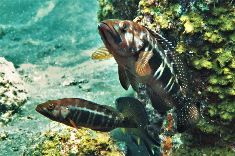 Schwarzschwanzbarsch Serranus atricauda Knochenfische Osteichthyes Lanzarote Fische La Gomera Palma El Hierro Kanaren Fischarten Teneriffa Gran Canaria FuerteventuraAtlantik