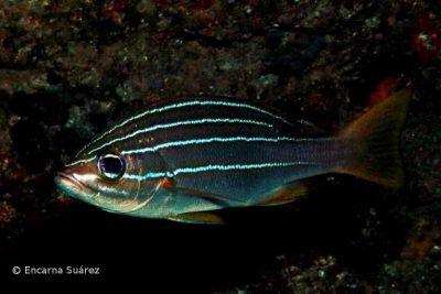 Achtstreifengrunzer Parapristipoma octolineatum Knochenfische Osteichthyes Fische der Kanaren Fischarten Kanarische Inseln Atlantik Teneriffa Gran Canaria Fuerteventura Lanzarote La Palma Gomera El Hierro