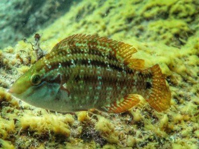 atlantischer lippfisch symphodus trutta martin tauchen kanaren kanarische inseln atlantik atlantischer ozean