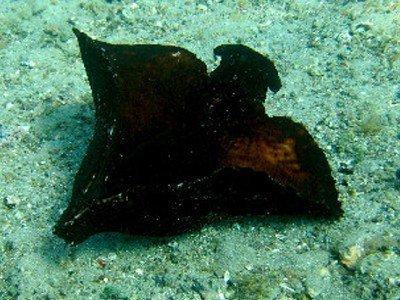 gefleckter seehase aplysia fasciata martin kanaren tauchen kanarische inseln schwarzer seehse braun atlantik atlantischer ozean