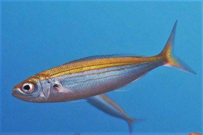 Gelbstriem Boops Boops Osteichthyes Knochenfische Kanaren Fische Fischarten Teneriffa Gran Canaria Fuerteventura Lanzarote La Palma Gomera El Hierro Kanarische Inseln Atlantik Atlanticher Ozean