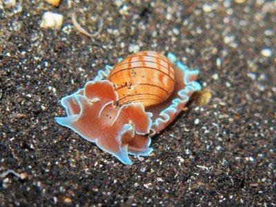 gestreifte papierblasenschnecke hydatina physis schnecken bild blasenschnecke tauchen kanaren kanarische inseln atlantik atlantischer ozean