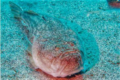Himmelsgucker Uranoscopus scaber Knochenfische Osteichthyes Fische Kanaren Kanarische Inseln Fischarten Atlantik Teneriffa Gran Canaria Fuerteventura Lanzarote La Palma Gomera El Hierro
