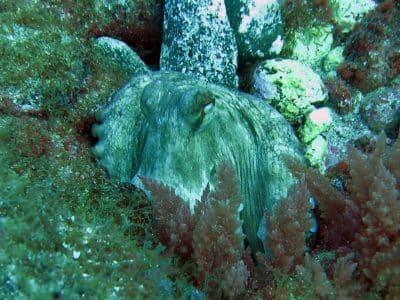 Tauchplatz Arguineguin Reef Scuba Sur Gran Canaria Octopus
