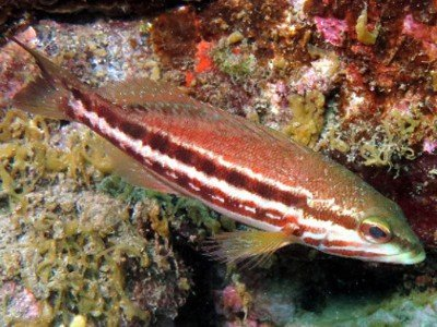 ziegenbarsch sägebarsch serranus cabrilla martin tauchen knochenfische kanaren kanarische inseln