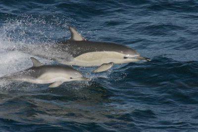 Gewöhnlicher Gemeiner Delfin Delphinus delphis Kanaren Kanarische Inseln Teneriffa Walarten Gran Canaria Delfine Arten Fuerteventura Wale Lanzarote La Palma Gomera El Hierro