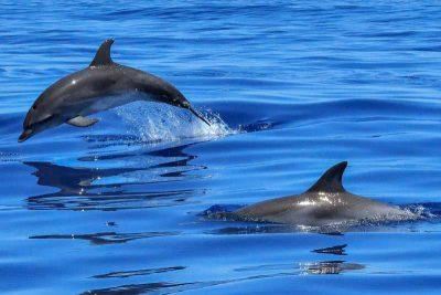 Großer Tümmler Tursiops truncatus Kanaren Delfine Arten Kanarische Inseln Whalewatch Teneriffa Wale Gran Canaria Fuerteventura Lanzarote Walarten La Palma Gomera El Hierro Atlantik
