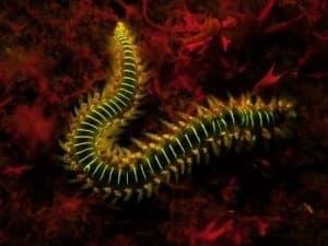 Bart-Feuerborstenwurm Hermodice carunculata - Feuerwurm tauchen auf den kanaren kanarische inseln atlantik atlantischer ozean fluoreszenz polychaeta vielborster fischlexikon arten