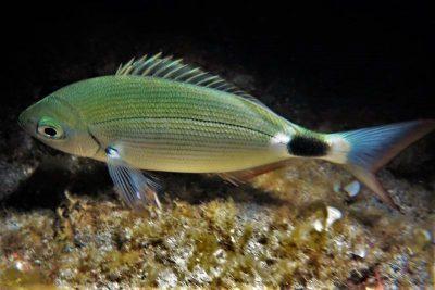 Brandbrasse Oblada melanura Oblada melanura Osteichthyes Knochenfische Kanaren Fische Fischarten Kanarische Inseln Atlantik Atlanticher Ozean
