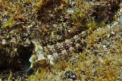 Variabler Schleimfisch Parablennius pilicornis Osteichthyes Knochenfische Kanaren Fische Fischarten Teneriffa Gran Canaria Fuerteventura Lanzarote La Palma Gomera El Hierro Kanarische Inseln Atlantik Atlanticher Ozean