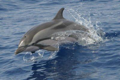 Blau-Weißer Delfin Streifendelfin Stenella coeruleoalba Kanaren Kanarische Inseln Delfinarten Teneriffa Gran Canaria Fuerteventura Wale Arten Lanzarote La Palma Gomera El Hierro