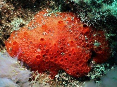 Blutkraterschwamm Phorbas fictitius Krustenschwamm porifera Schwämme arten tauchen kanaren kanarische inseln atlantik atlantischer ozean
