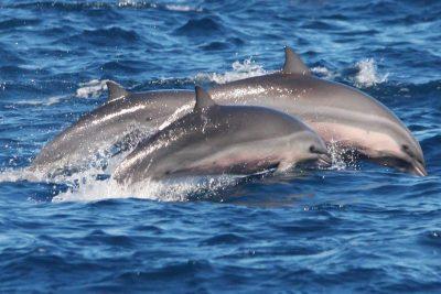 Borneodelfin Fraser-Delfin Lagenodelphis hosei Kanaren Delfine Kanarische Inseln Teneriffa Gran Canaria Walarten Fuerteventura Wale Arten Lanzarote La Palma Gomera El Hierro