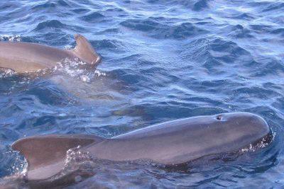 Gewöhnlicher Grindwal Pilotwal Globicephala melas Teneriffa Gran Canaria Whalewatching Fuerteventura Wale Arten Lanzarote Walarten La Palma Kanaren Kanarische Inseln Atlantik