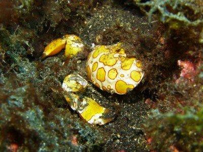 Harlekinkrabbe - Platypodiella picta Krebstiere Crustacea Arten tauchen auf den kanaren kanarische inseln atlantik atlantischer ozean