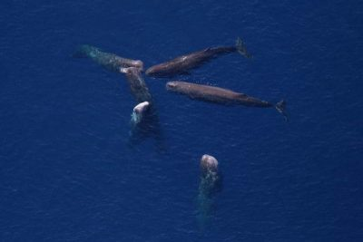 Pottwal Physeter macrocephalus Kanaren Kanarische Inseln Teneriffa Gran Canaria Fuerteventura Whalewatching Lanzarote Wale Arten La Palma Gomera El Hierro Walarten