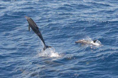 Rauzahndelfin Steno bredanensis Kanaren Kanarische Inseln Walarten Teneriffa Gran Canaria Wale Arten Fuerteventura Whalewatching Lanzarote La Palma Gomera El Hierro Atlantik