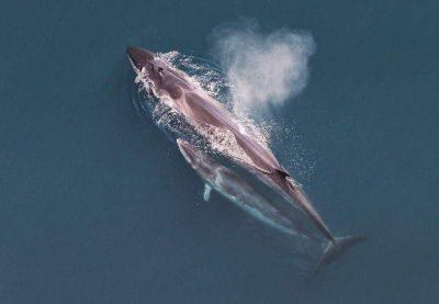 Seiwal Balaenoptera borealis Teneriffa Walarten Kanaren Wale Kanarische Inseln Gran Canaria Fuerteventura Whalewatching Lanzarote La Palma Gomera El Hierro