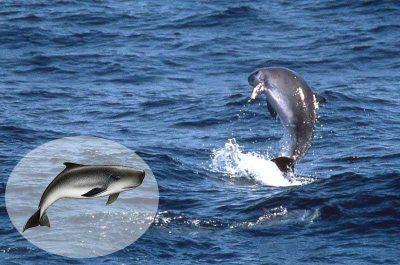 Zwergpottwal Kogia breviceps Kanaren Whalewatching Kanarische Inseln Teneriffa Gran Canaria Walarten Fuerteventura Lanzarote Wale Arten La Palma Gomera El hierro