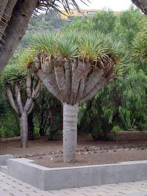 Dracaena draco Jardin Botanico Canario Botanischer Garten Las Palmas kanarischer inseln kanaren gran Canaria aktivitäten sehenswürdigkeiten