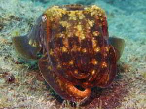 Gran Canaria tauchen kanarische inseln kanaren atlantik atlantischer ozean gewöhnlicher tintenfisch sepia officinalis