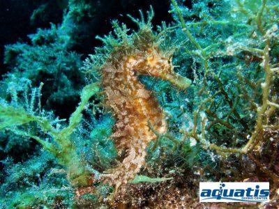 Charco del Palo Aquatis Dive Center Kurzschnäuziges Seepferdchen hippocampus hippocampus tauchcenter tauchführer tauchbasis tauchplatz