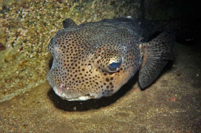 Cueva Diablo Igelfisch – Chilomycterus reticulatus el hierro tauchen marine reservar mar de las calmas
