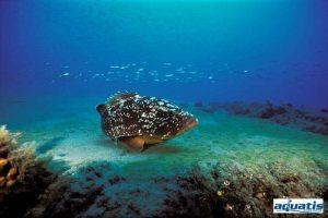 Lanzarote Tauchen tauchcenter tauchplätze tauchführer Aquatis Dive Center Brauner Zackenbarsch Epinephelus marginatus