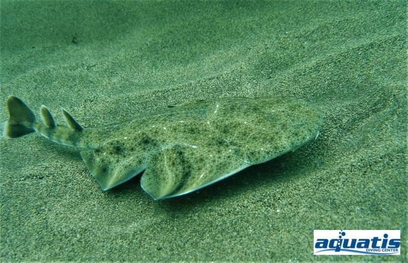 Tauchplatz Barranco del Quiquere Aquatis Dive Center Engelshai squatina squatina tauchen lanzarote