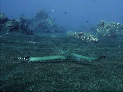 Tauchplatz el desierto Trompetenfisch – Aulostomus strigosus tauchen el hierro mar de las calmas marine reservat