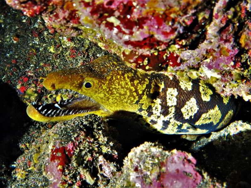 punta restinga tauchplatz tigermuräne tauchen el hierro kanaren kanarische inseln Enchelycore anatina