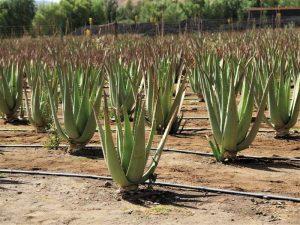Aloe Vera Farm Fuerteventura sehenswürdigkeiten