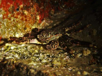 bild Graue Felsenkrabbe Plagusia depressa tauchen kanaren kanarische inseln krebstiere arten atlantik