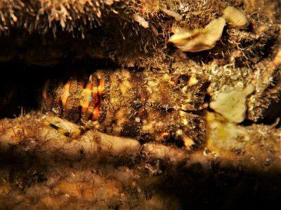 Kleiner Bärenkrebs Scyllarus arctus tauchen kanaren kanarische inseln mittelmeer bild atlantik Krebstiere