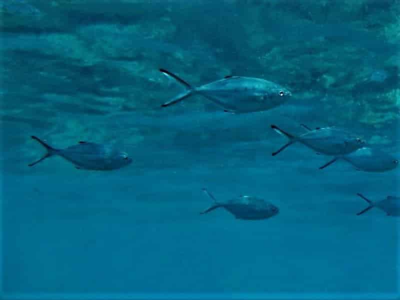 Atlantische Gabelmakrele Bläuel Bild Trachinotus ovatus tauchen kanaren kanarische inseln stachelmakrelen arten knochenfische Mittelmeer