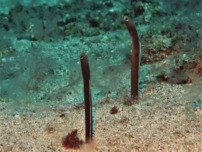 Brauner Röhrenaal Heteroconger longissimus fische kanaren bild tauchen kanarische inseln