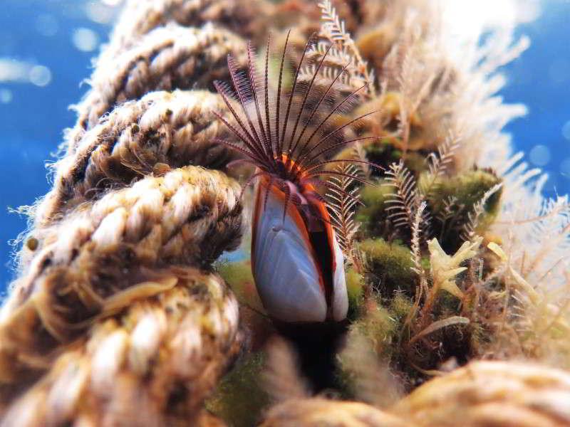 Entenmuschel Lepas anatifera Bild Krebstiere Arten tauchen auf den kanaren kanarische inslen atlantik