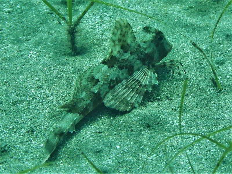 Gestreifter Knurrhahn Trigloporus lastoviza Chelidonichthys lastoviza Bild tauchen kanaren kanarische inseln Mittelmeer