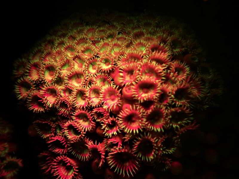 Kanarische krustenanemone fluoresziert Palythoa canariensis bild blumentiere arten tauchen kanaren inseln atlantik