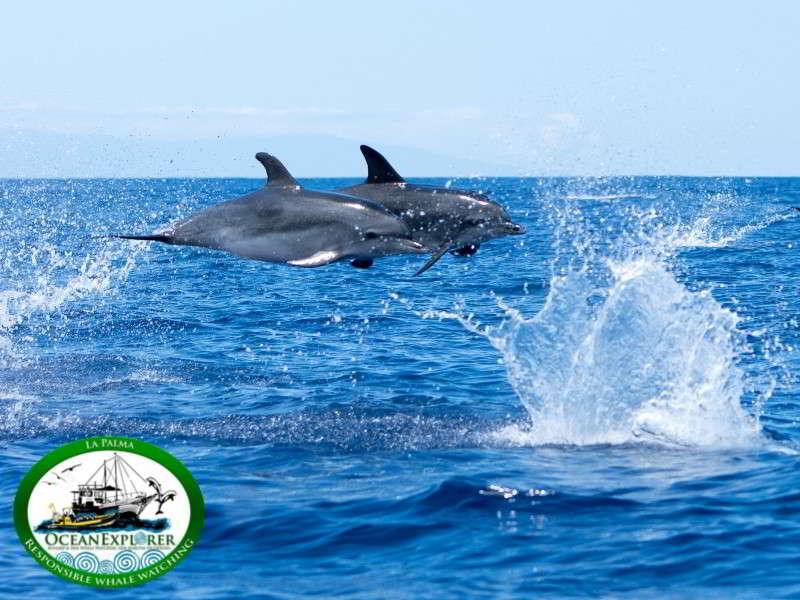 Wale delfin delfine bild cetacea arten kanaren kanarische inseln atlantischer ozean atlantik