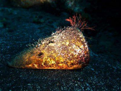 Conus Pulcher bild kegelschnecke kanaren arten kanarische inseln madeira atlantik tauchen schnecken gastropoda